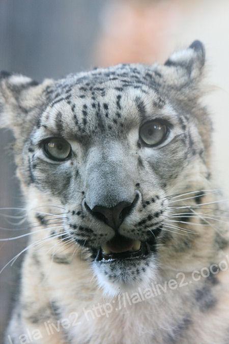 Snowleopard201112151