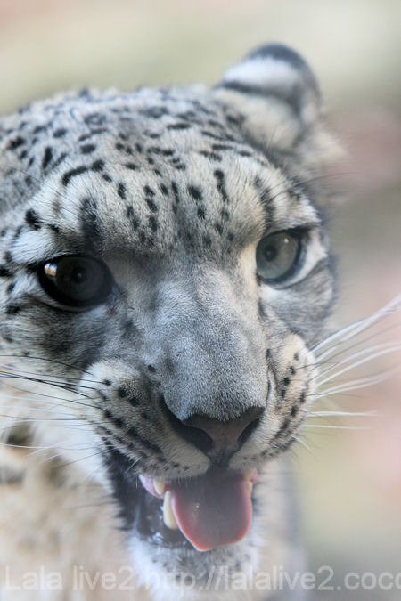 Snowleopard201112152