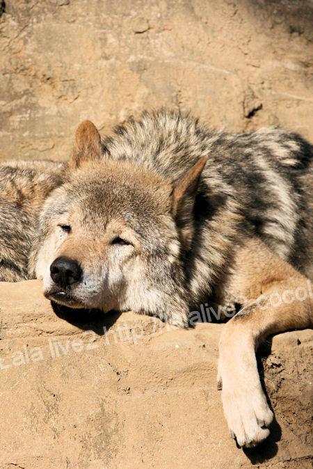 Wolf201112151