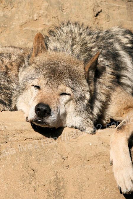 Wolf20111215_2