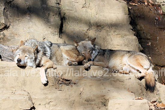 Wolves201111215