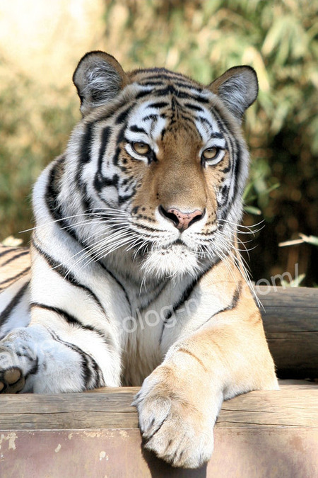 Tiger20111215