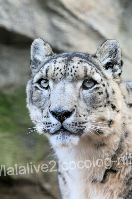 Snowleopard2011121511
