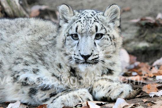 Snowleopard2011121512