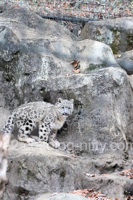 Snowleopard2011121513