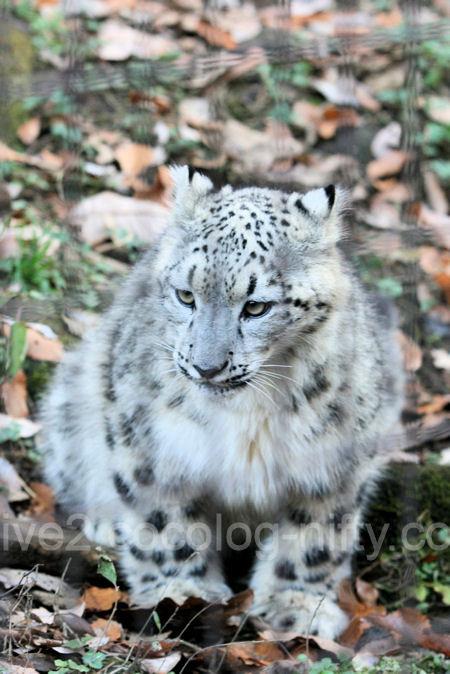 Snowleopard2011121514