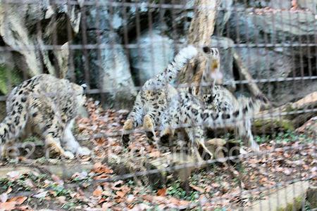 Snowleopard2011121515