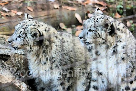 Snowleopard2011121516