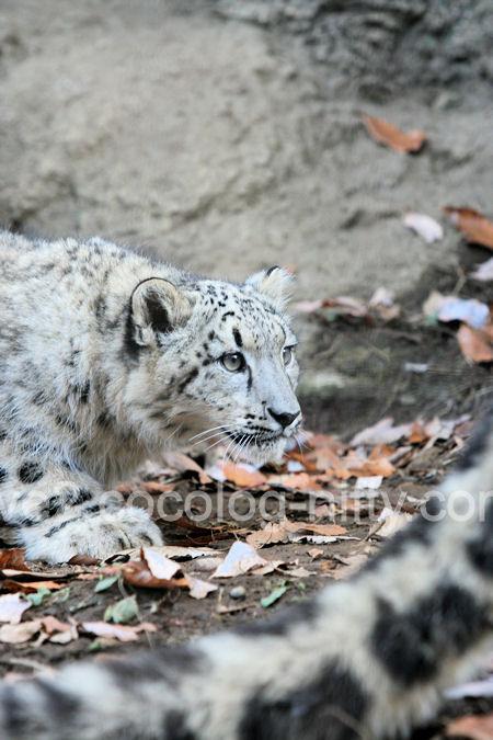 Snowleopard2011121517