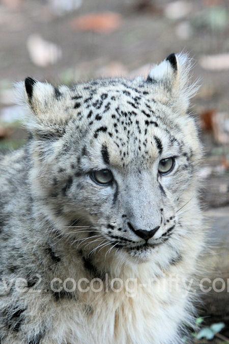 Snowleopard2011121518_4