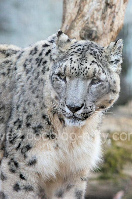 Snowleopard2011121519