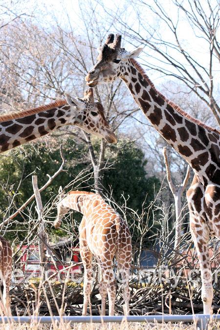 Giraffe20120107