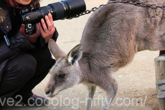 Kangaroo20120107