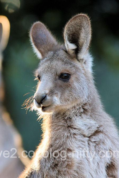 Kangaroo201201071