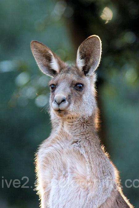 Kangaroo201201072