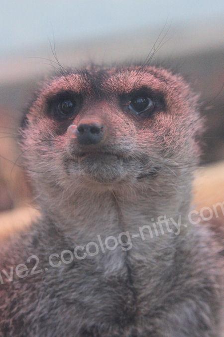 Meerkat20120107