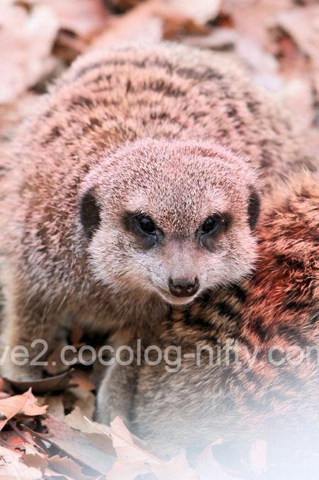 Meerkat201201071