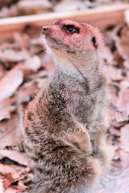 Meerkat201201072