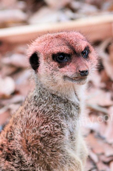 Meerkat201201073