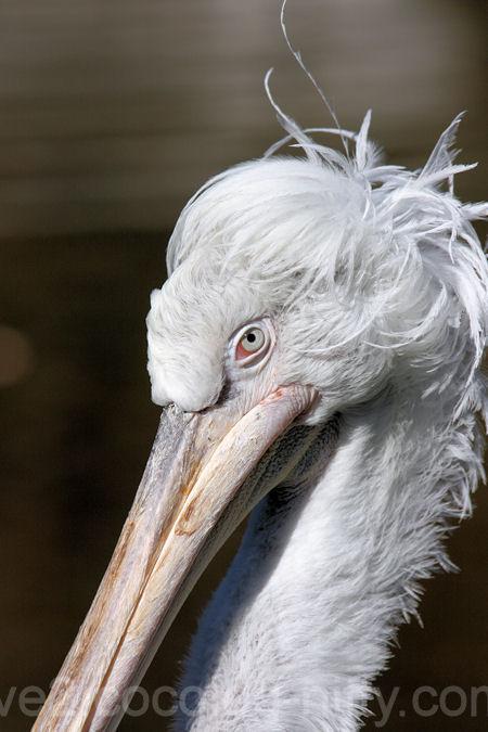 Pelican20120107