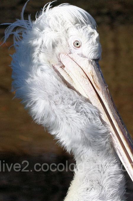 Pelican201201071