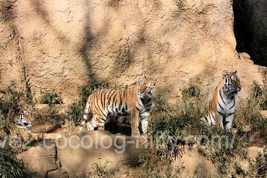 Tigers20111215