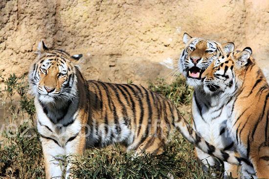 Tigers201112151