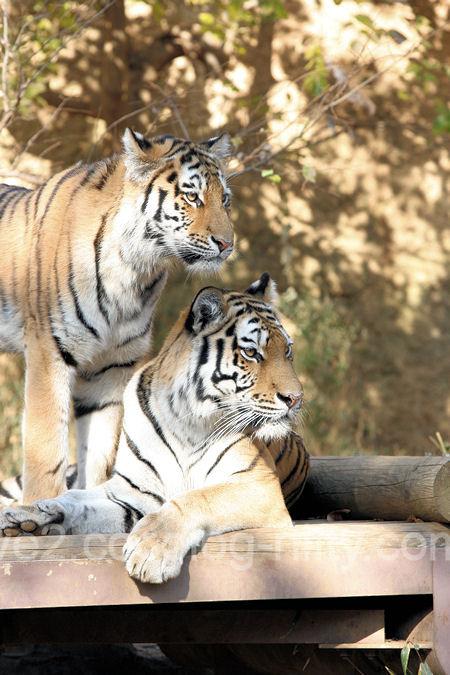 Tigers201112152