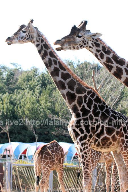 Giraffe201201072