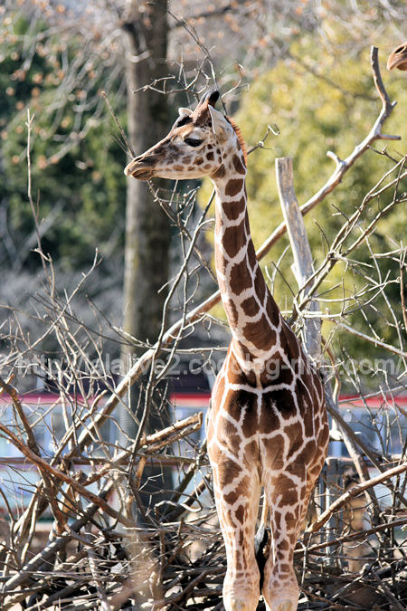 Giraffe201201073