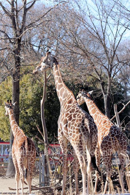 Giraffe201201074_2