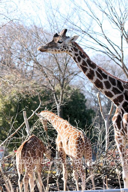 Giraffe201201076