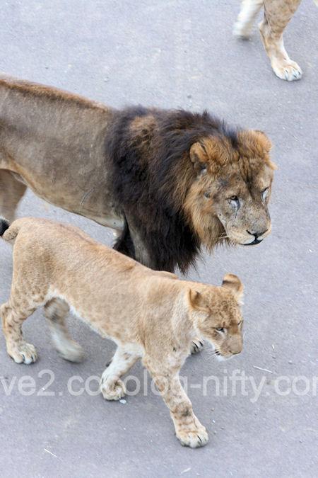 Lions201112151