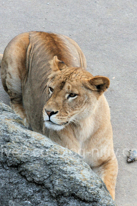 Lions2011121510