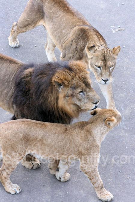 Lions201112152