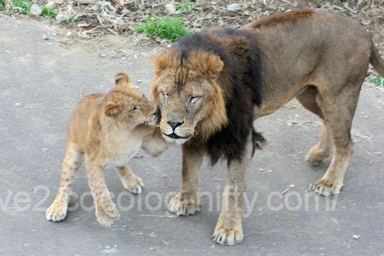 Lions201112154