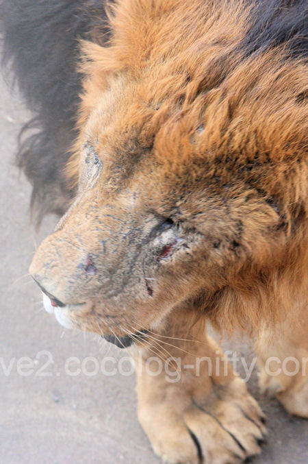 Lions201112157
