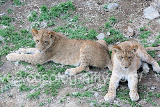 Lions20111215_2