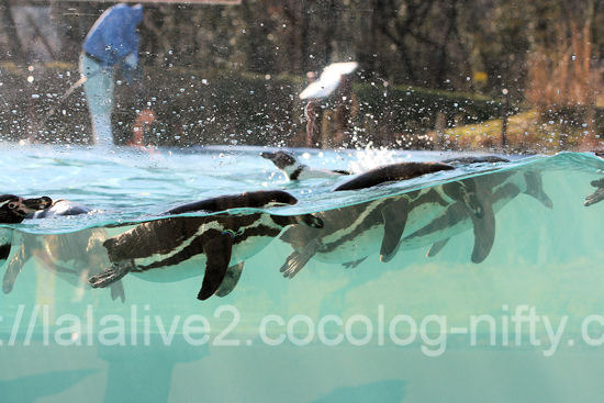 Penguins201201071_2