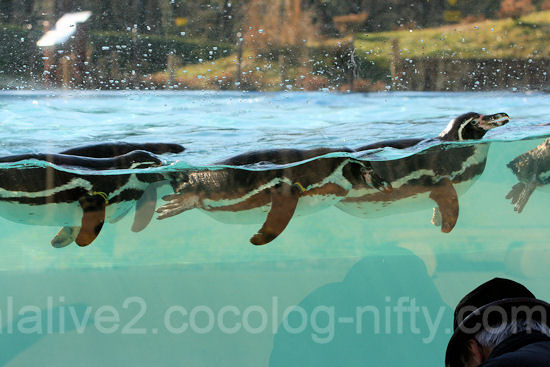 Penguins20120107_2