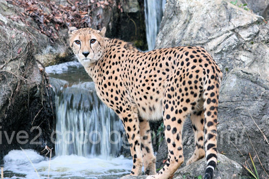 Cheetah20111215