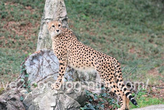 Cheetah201112152