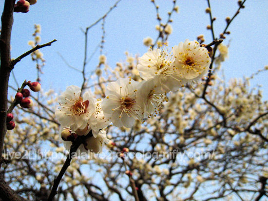 Apricot7_2