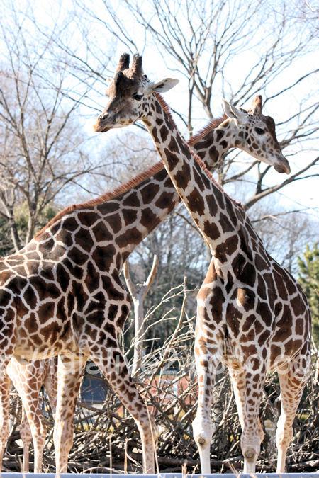 Giraffe201201077_2