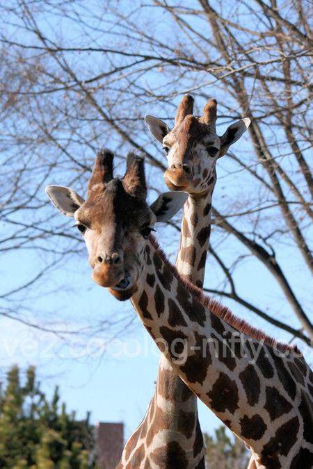 Giraffe201201078_2