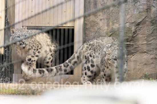 Snowleopard20120316