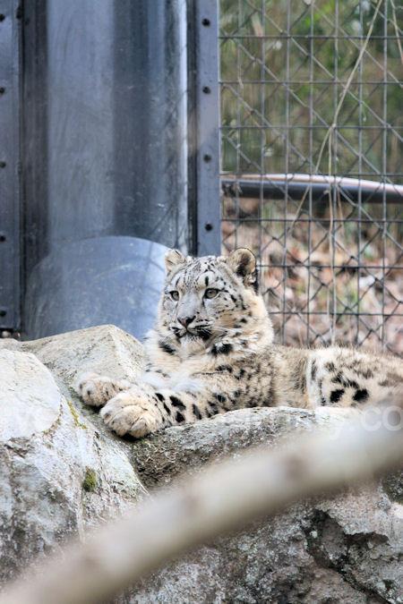 Snowleopard2012031610