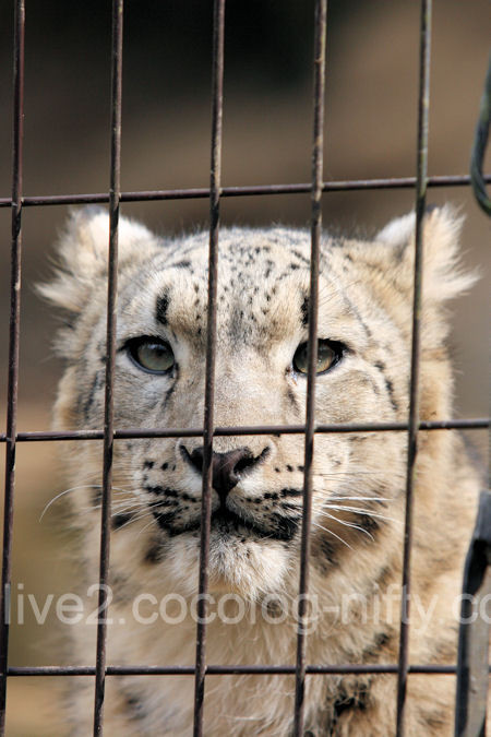 Snowleopard2012031611