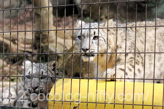 Snowleopard2012031612