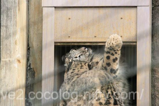 Snowleopard201203162